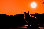 Обои Силуэт кошки на закате, by Dimitris Vetsikas