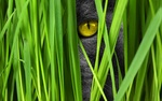 Обои Наблюдающий взгляд желтоглазого кота в траве, by Comfreak