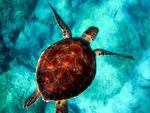 Обои Черепаха под водой, вид крупным планом сверху, by 12019