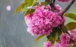 Обои Ветка весенней сакуры под дождем
