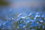 Обои Голубые немофилы на размытом фоне, фотограф Ben Yamada
