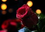 Обои Бордовая роза на фоне боке, by Silvia & Frank