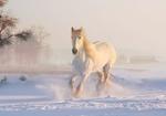 Обои Белая лошадь скачет по снегу, by Dorota Kudyba