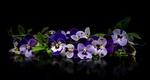 Обои Фиолетовые анютины глазки лежат на отражающей поверхности на черном фоне