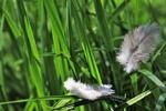 Обои Белые перышки в траве