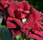 Обои Бордовая роза, на которой плетет паутину белый паук
