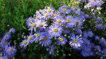 Обои Голубые осенние астры в саду
