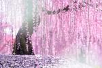 Обои Дерево цветущей сливы, Suzuka, Mie, Japan / Сузуки, Ми, Япония, фотограф Comyu Matsuoka