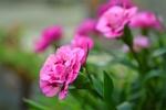 Обои Ярко-розовая гвоздика на размытом фоне