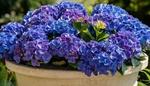 Обои Сине-фиолетовая гортензия в горшке