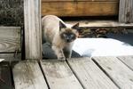 Обои Голубоглазая кошка сиамской породы ступает на помост, by liliy2025