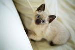 Обои Голубоглазая кошка сиамской породы смотрит вверх, by liliy2025