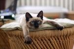 Обои Голубоглазая кошка сиамской породы лежит на плетенной мебели, by liliy2025