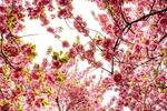 Обои Цветущие ветки сакуры, by liliy2025