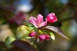Обои Цветущая ветка яблони, by liliy2025