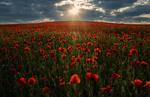 Обои Поле красных маков освещается солнцем