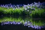 Обои Голубые ирисы у реки и их отражение в воде, фотограф Comyu Matsuoka