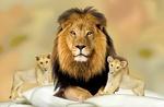 Обои Лев с двумя львятами на размытом фоне