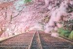 Обои Железная дорога посреди весенних цветущих деревьев сакуры