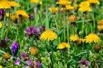 Обои Весенние одуванчики и другие полевые цветы, by Gаbor Adonyi