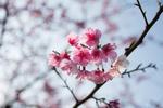 Обои Цветы на ветке дерева, фотограф Jonathan Su