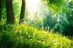 Обои Отцветшие одуванчики на поляне в лесу