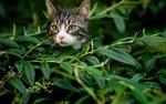 Обои Мордочка любопытного кота выглядывает из густой листвы