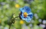 Обои Цветок меконопсиса / голубого мака на размытом фоне