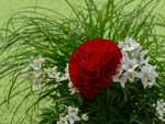 Обои Красная роза, белые цветы жасмина и зеленая сочная трава, by Lilo