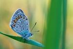 Обои Голубая бабочка на травинке
