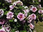 Обои Куст розовых цветов в саду