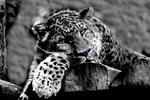 Обои Леопард с голубыми глазами отдыхает на бревенчатом настиле, by Sabine