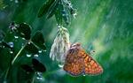Обои Бабочка на цветке белого клевера под каплями дождя, by Georgi Georgiev