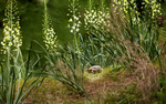 Обои Черепаха среди белых цветов эремусов, by akmal