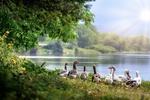 Обои Гуси на берегу озера, by Antonio Doumas