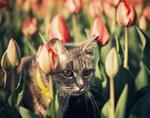 Обои Серая кошка в тюльпанах, фотограф Valeriy Minyaev