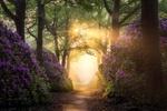 Обои Волшебный путь рододендрона в лесу в Netherlands Nijverdal / Нидерландах около Ниджвердаля, фотограф Edwin Mooijaart