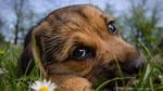Обои Грустный щенок лежит на траве около цветка ромашки