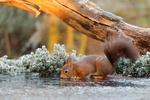 Обои Белочка пьет воду на фоне природы покрытой инеем