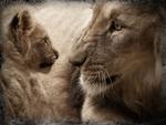 Обои Лев смотрит на львенка, by Christine Sponchia