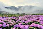 Обои Плантации с цветущей гортензией на фоне туманных гор (Love / Любовь), Japan / Япония