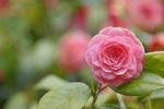 Обои Прекрасная розовая камелия на размытом фоне