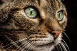 Обои Морда кошки с зелеными глазами