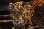 Обои Ягуар настороженно смотрит в камеру, by edmondlafoto
