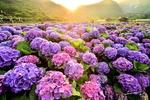 Обои Цветы гортензии в лучах солнца