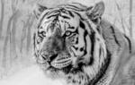 Обои Амурский тигр на фоне зимнего леса, by IanZA