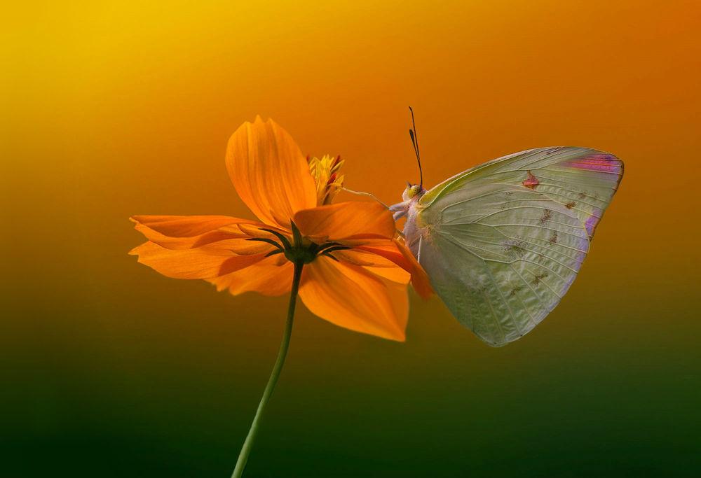 Обои для рабочего стола Бабочка на цветке, фотограф Eleonora Di Primo
