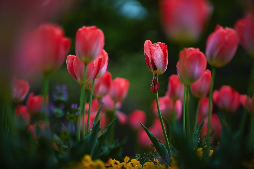 Обои для рабочего стола Розовые тюльпаны на размытом фоне, фотограф Mirai Takahashi