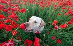 Обои Собака нюхает цветок на маковом поле, фотограф Алексей Яковлев