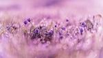 Обои Маленькие фиолетовые цветочки сон-травы в каплях воды